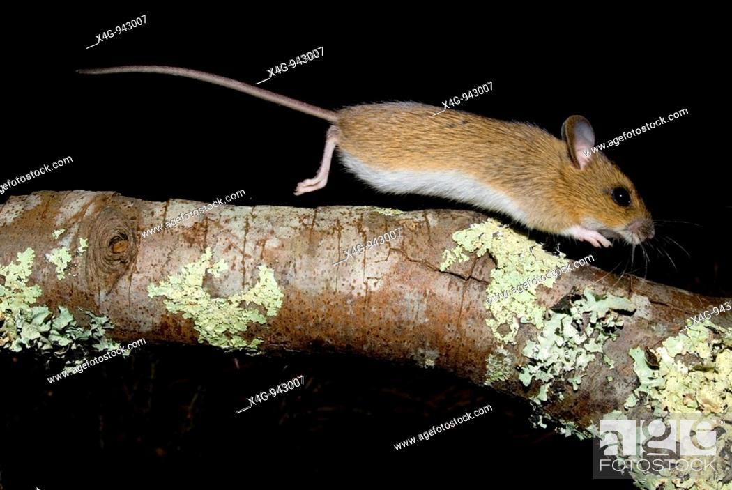 Stock Photo: Ratón de campo  Woodmouse  Apodemus sylvaticus  Pontevedra, España.