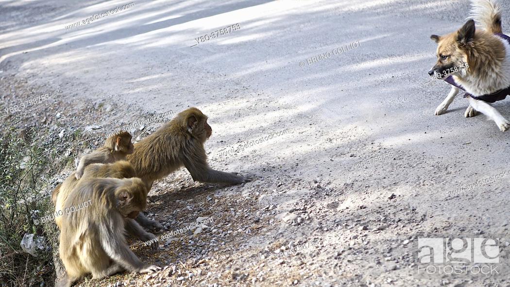 Stock Photo: atmosphere and relationship, dog and monkeys. Mac-Léod-Ganj, HP, india.