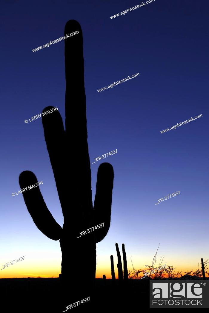 Stock Photo: Sunset with silhouetted saguaro cactus in Saguaro National Park.