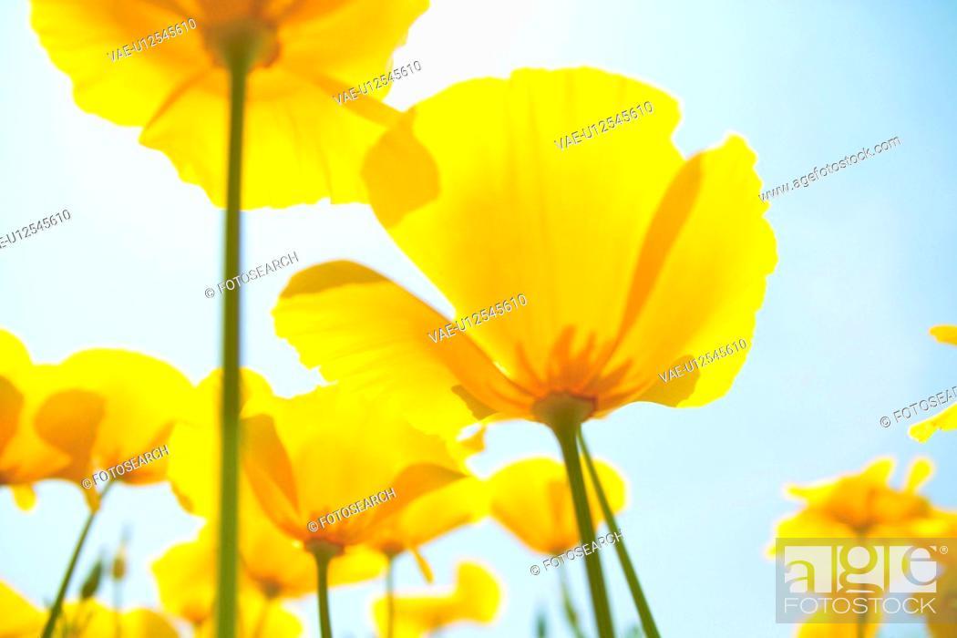 Stock Photo: California poppy.
