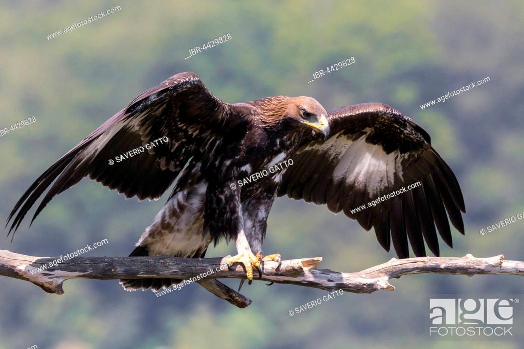 Stock Photo: Golden eagle (Aquila chrysaetos), juvenile spreading wings on dead branch, Campania, Italy.