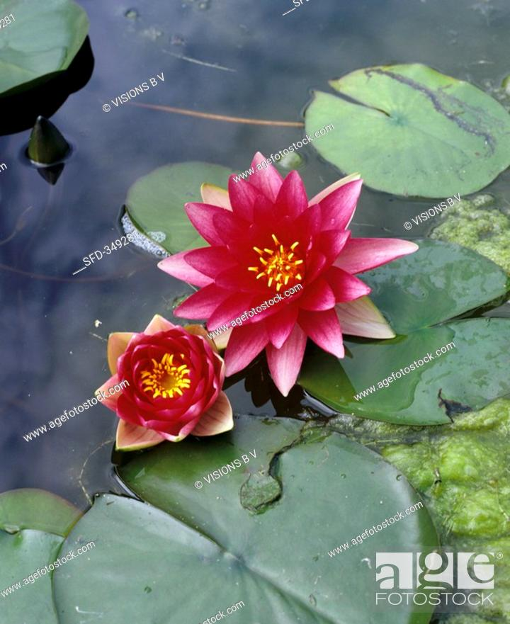 Stock Photo: Two water lilies in water.