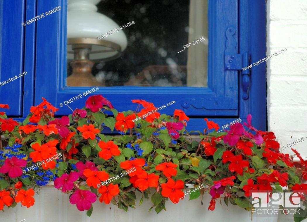 Stock Photo: Geranium on window sill.