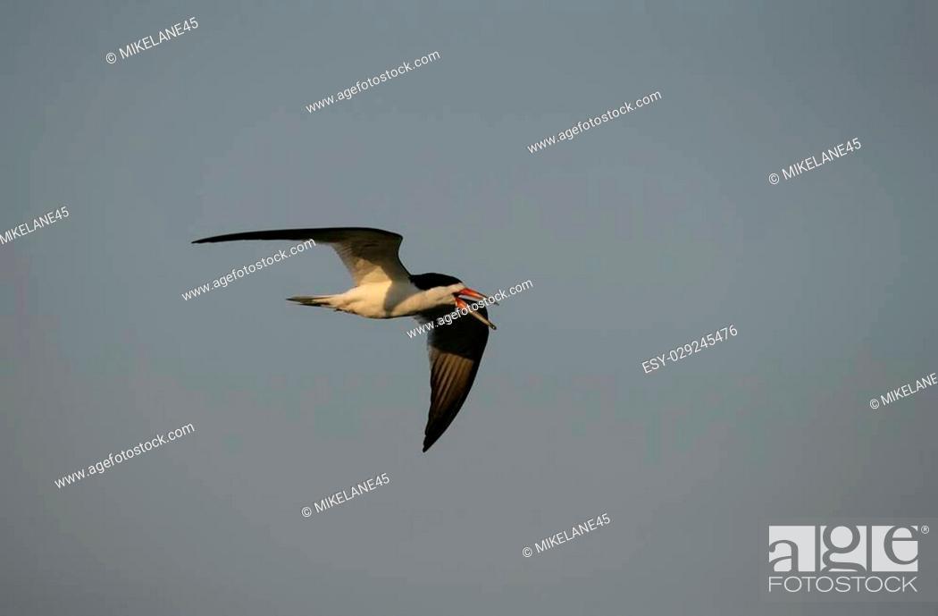 Stock Photo: Black skimmer, Rynchops niger, single bird in flight, Brazil.