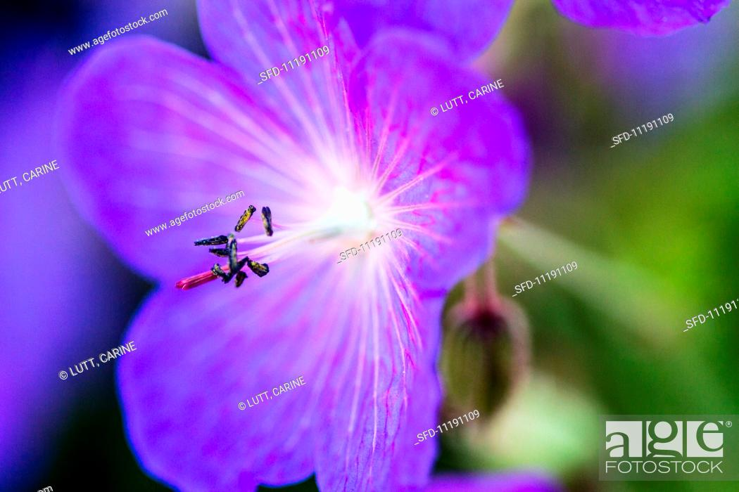 Stock Photo: Purple clematis (close-up).