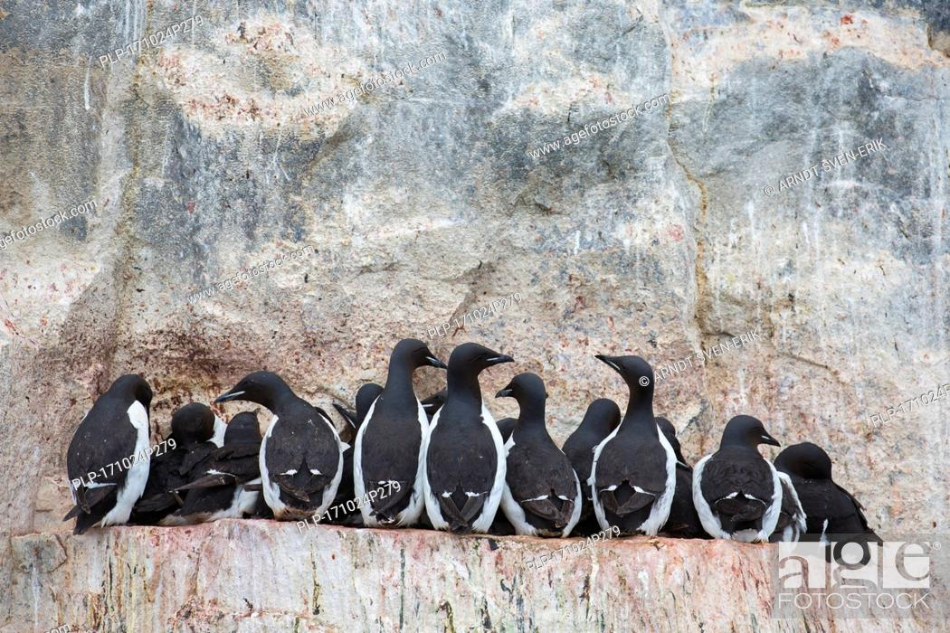 Stock Photo: Thick-billed murres / Brünnich's guillemots (Uria lomvia) on rock ledge in sea cliff in seabird colony, Alkefjellet, Hinlopenstreet, Svalbard, Norway.