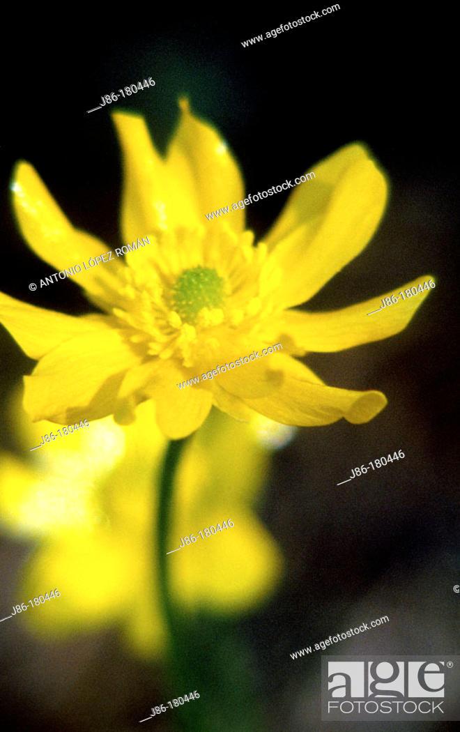 Stock Photo: Autumn Buttercup (Ranunculus bullatus).
