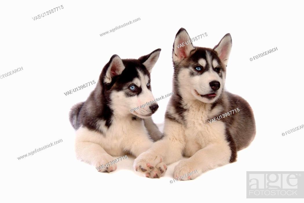 Stock Photo: domestic, dog, husky, siberian husky, pet, canines, animal.