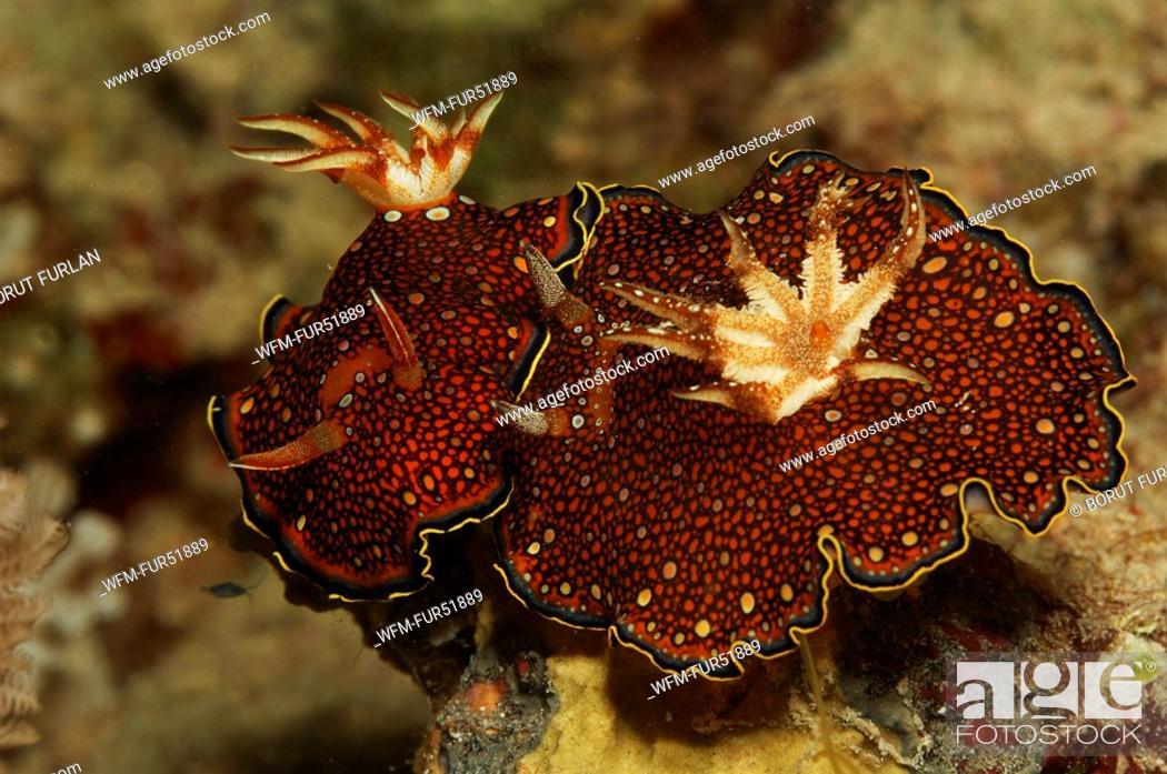 Stock Photo: Two Red Sea Chromodoris, Chromodoris charlottae, Marsa Alam, Red Sea, Egypt.