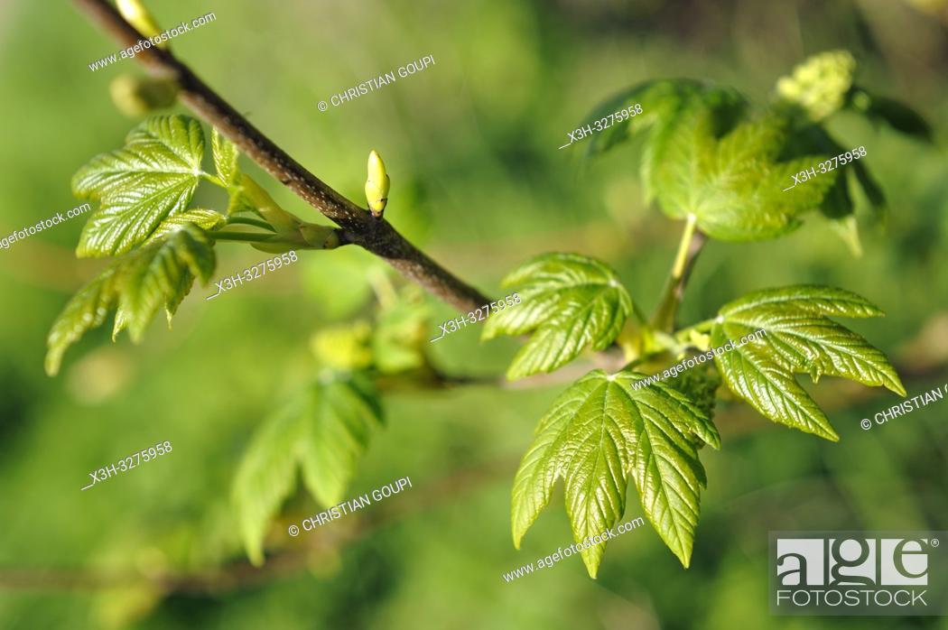 Imagen: young leaves of sycamore (Acer pseudoplatanus), Eure-et-Loir department, Centre-Val de Loire region, France, Europe.