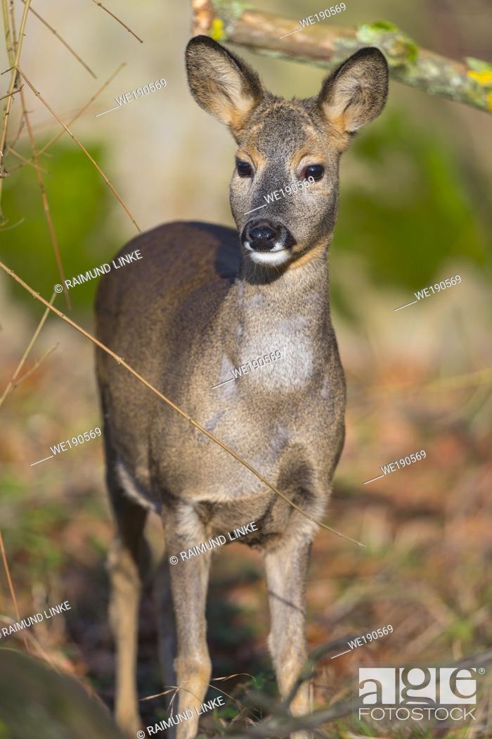 Photo de stock: Roe Deer, Capreolus capreolus, female.