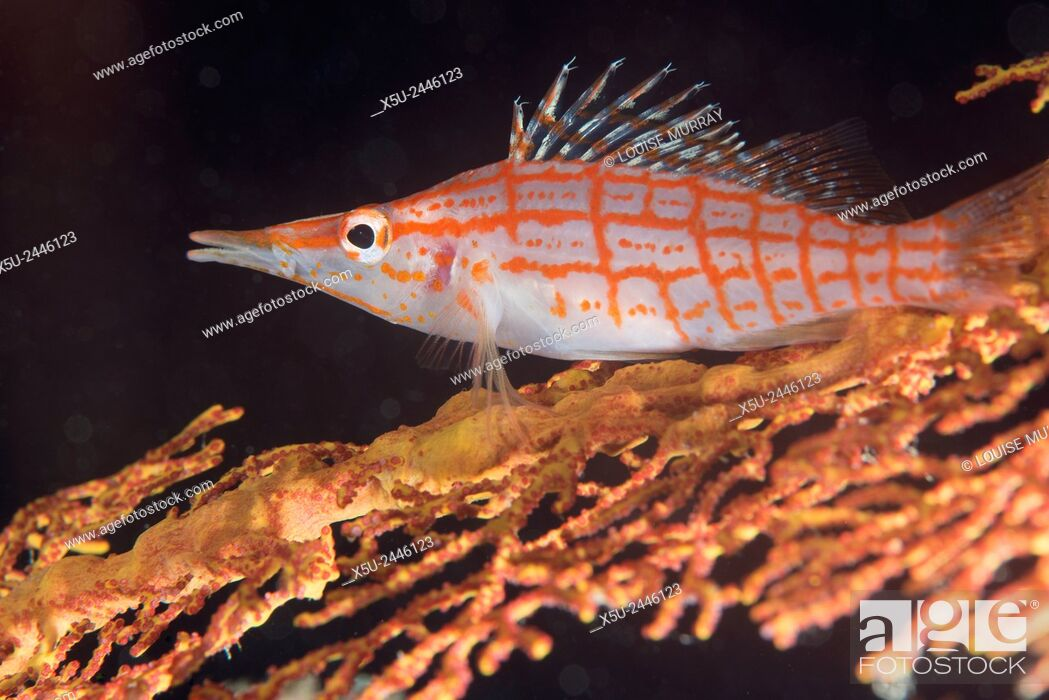 Stock Photo: Longnose hawkfish, Oxycirrhites typus usually found on gorgonian sea fans, Subergorgia mollis - a hard coral species found in high current areas.