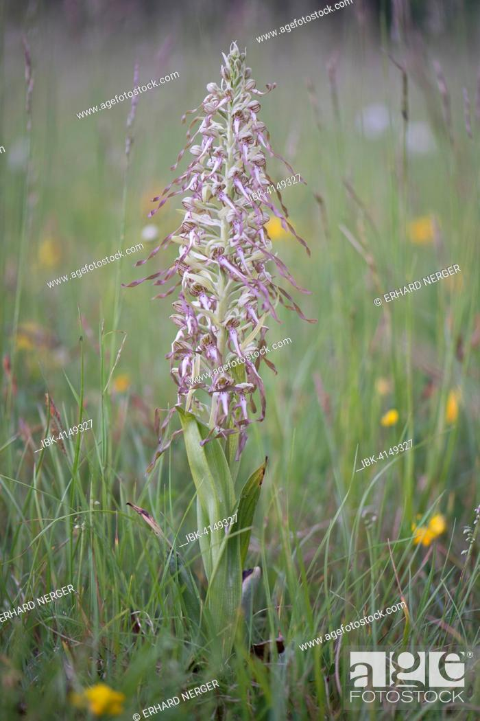 Stock Photo: Lizard Orchid (Himantoglossum hircinum), Rothenstein nature reserve, Thuringia, Germany.