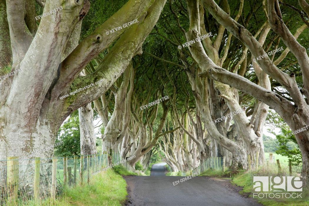 Stock Photo: Dark Hedges, County Antrim, Northern Ireland.