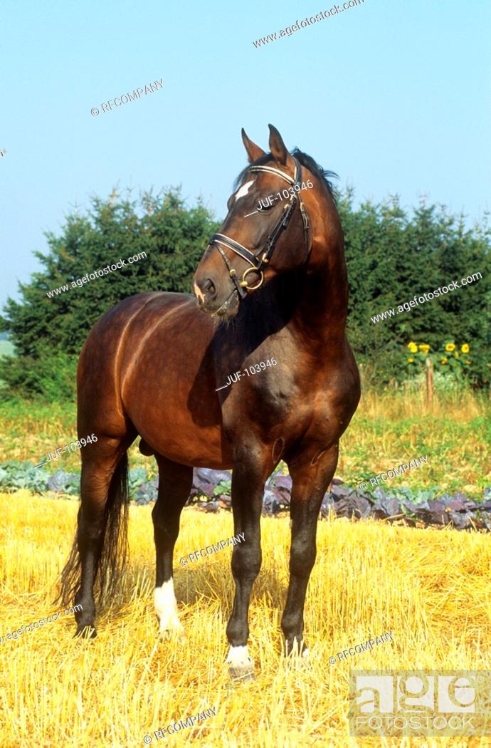 Stock Photo: Hanoverian - standing on stubble field.