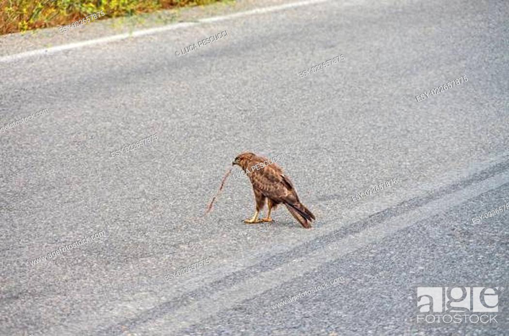 Imagen: Goshhawk in Crete.