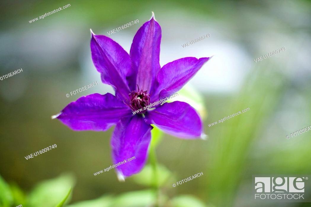Stock Photo: Clematis florida.