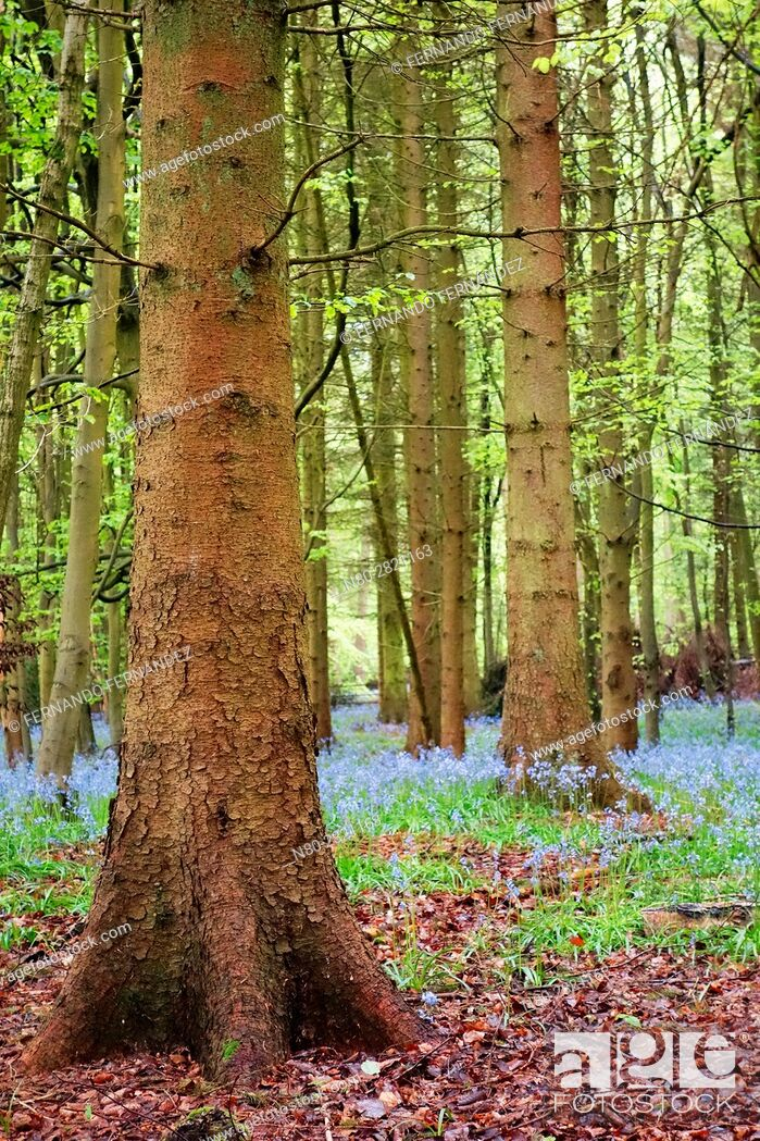 Stock Photo: Bluebells. Forest. Pangbourne. Oxfordshire. England.