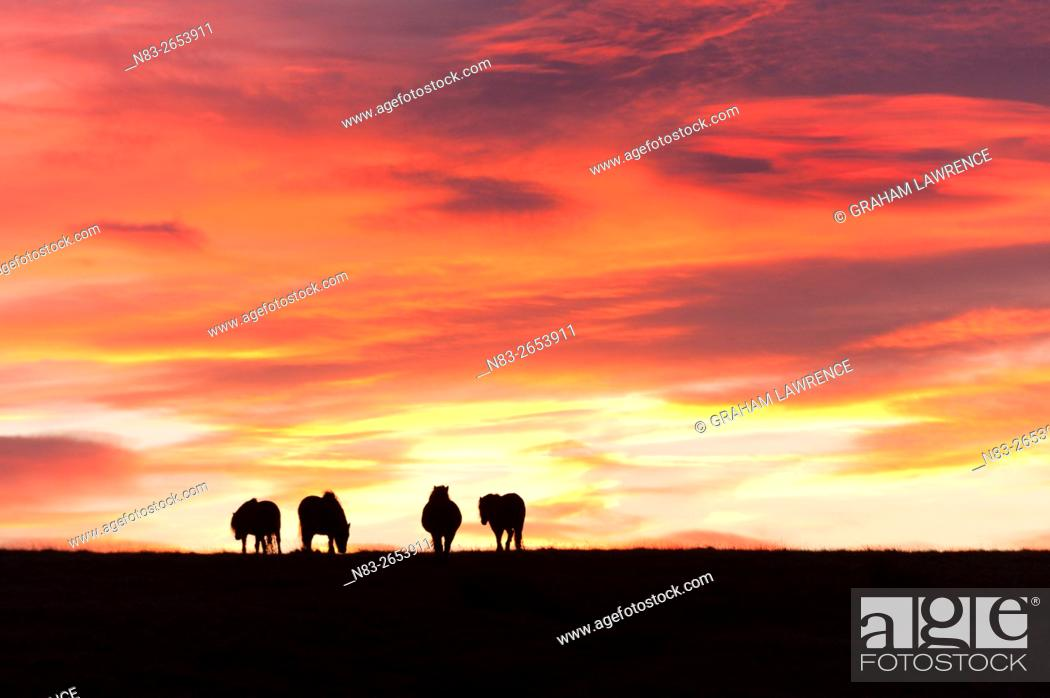 Stock Photo: Welsh ponies are seen silhouetted against the dawn sky on the Mynydd Epynt high moorland, Powys, Wales, UK.