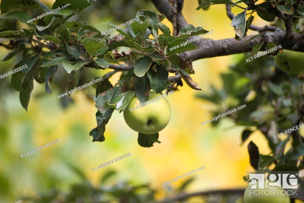 Stock Photo: Apples growing on tree.