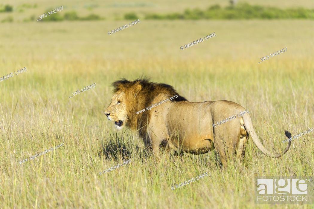 Imagen: African lion, Panthera Leo, male, Masai Mara National Reserve, Kenya, Africa.