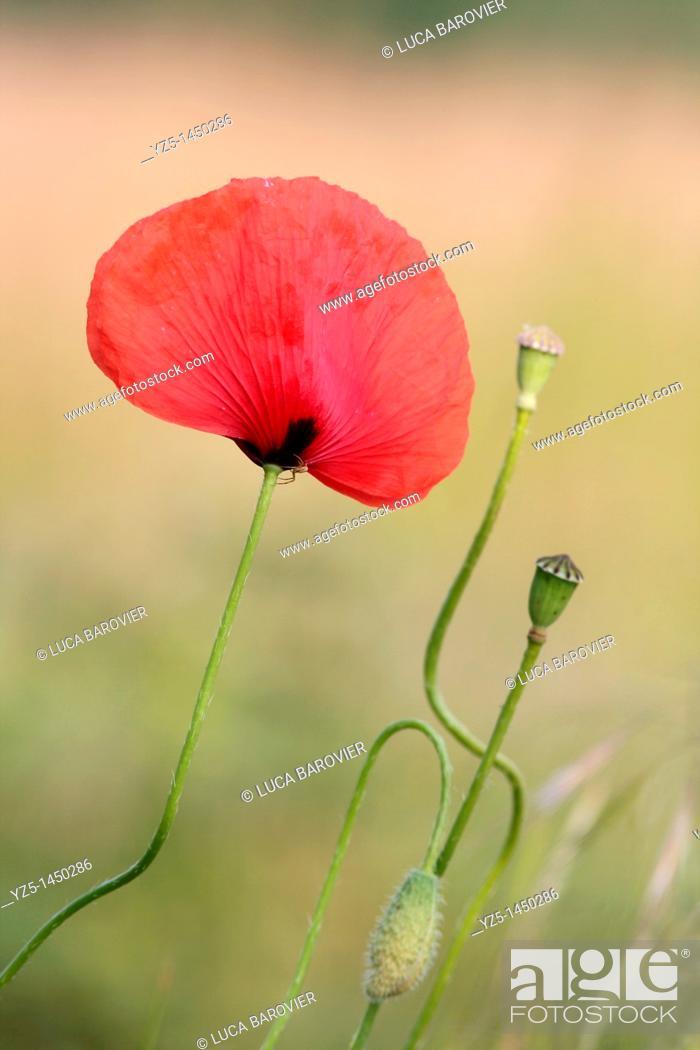 Stock Photo: Papaver somniferum - Corn Poppy with buds.