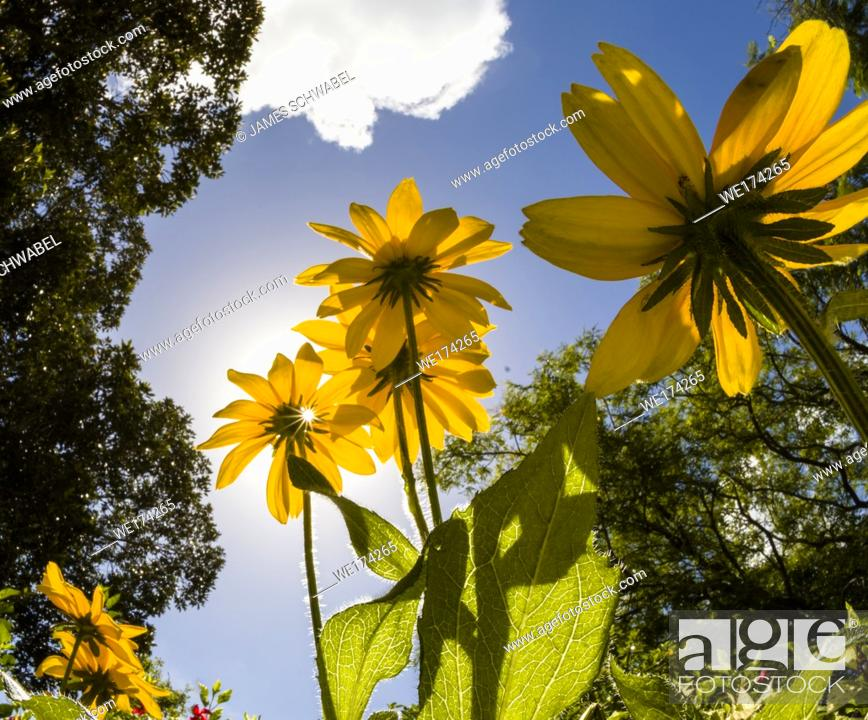 Stock Photo: Yellow flowers from underneath against a blue sky.