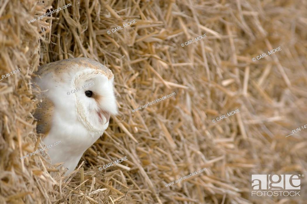 Stock Photo: Barn owl Tyto alba roosting amongst straw bales on a Gloucestershire farm, England.