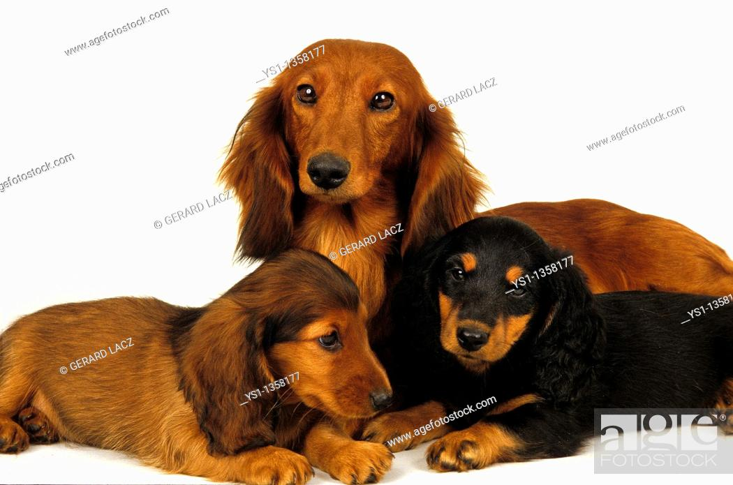 Stock Photo: SMOOTH-HAIRED DACHSHUND AND LONG-HAIRED DACHSHUND, FEMALE WITH PUPS.