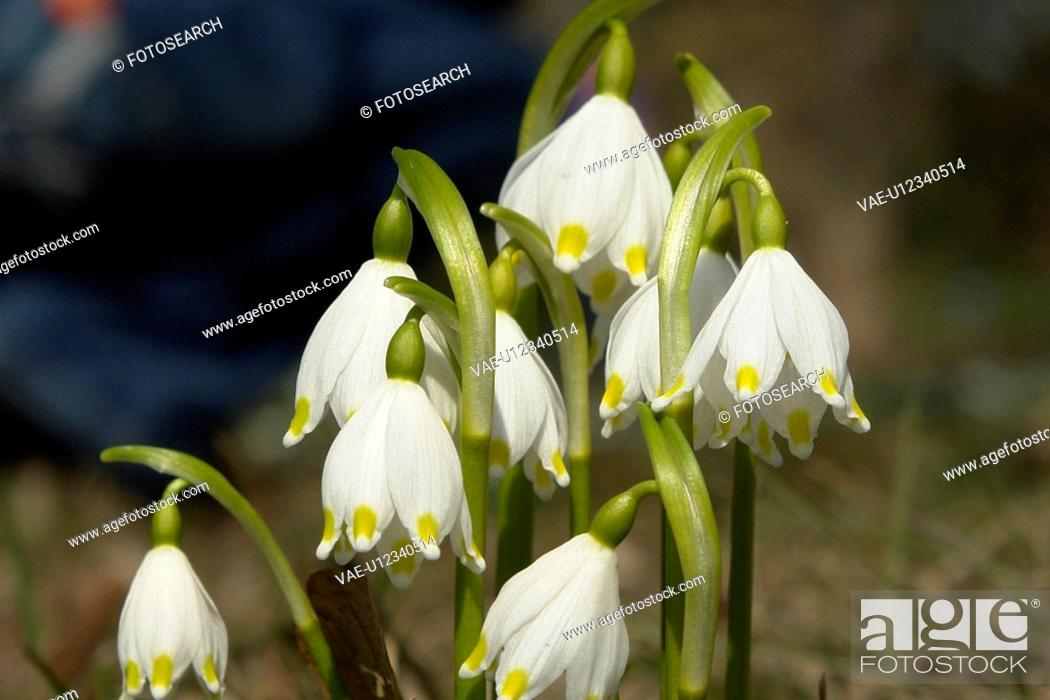 Stock Photo: felder, wiesen, bellflowers, bells, berne, blooms, blumenrfarben.