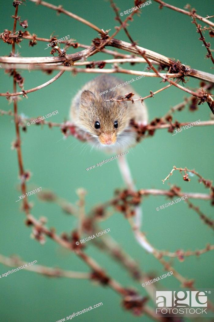 Stock Photo: Harvest Mouse Micromys minutus, climbing around between dead plant stalks.