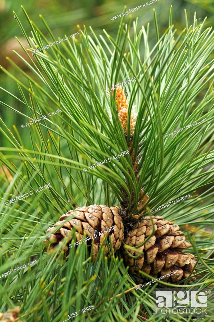 Stock Photo: Branch of European black pine (Pinus nigra) with cones. Austria.