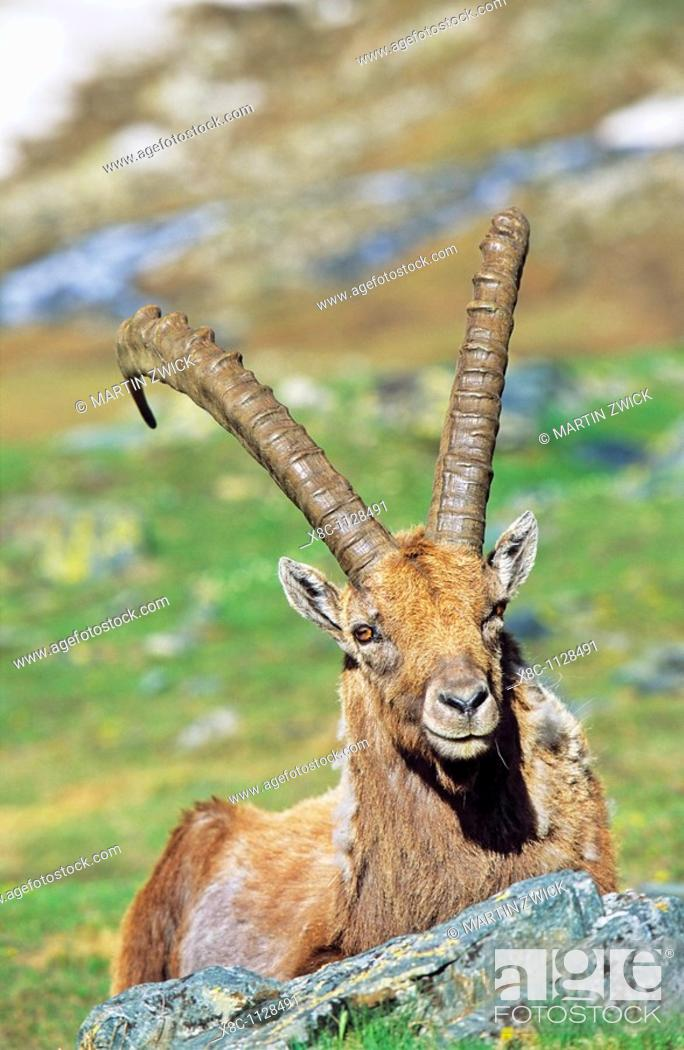 Stock Photo: Alpine Ibex Capra ibex portrait of a bull in spring  The long winter in the high mountains etiolated and weakened the animals  The changing of the coats gives.