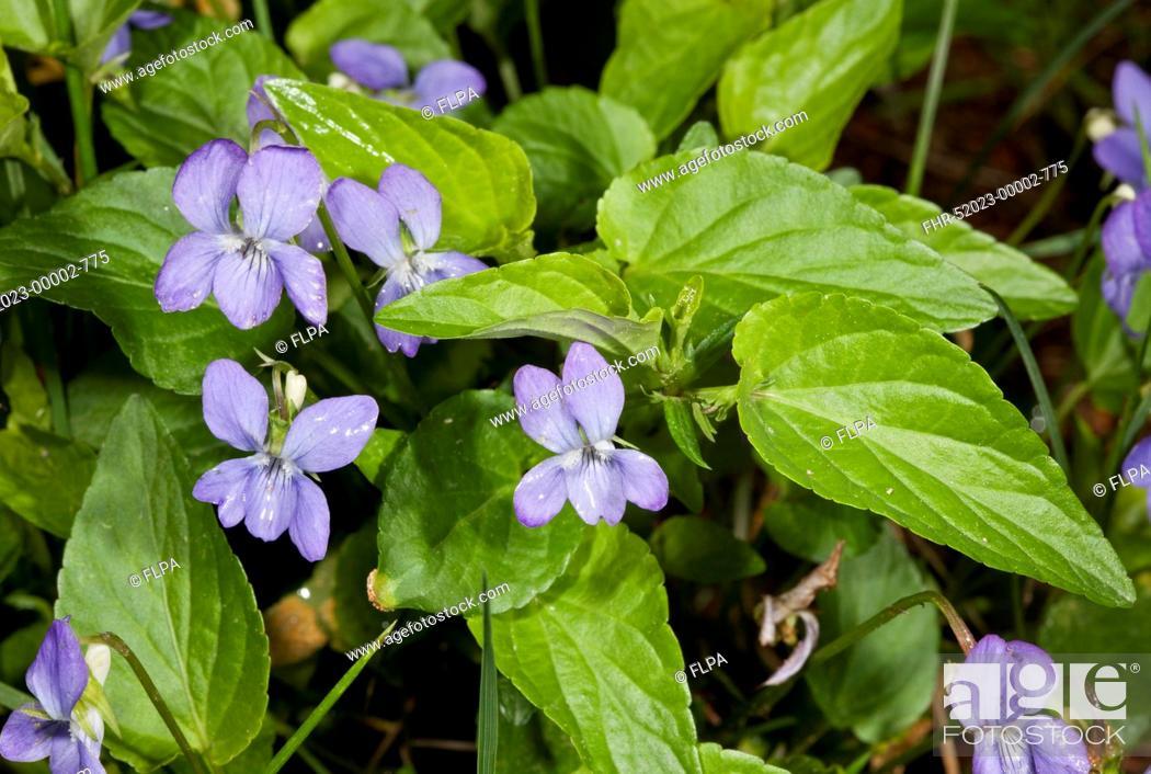 Stock Photo: Tall Violet (Viola elatior) flowering, Bulgaria, June.