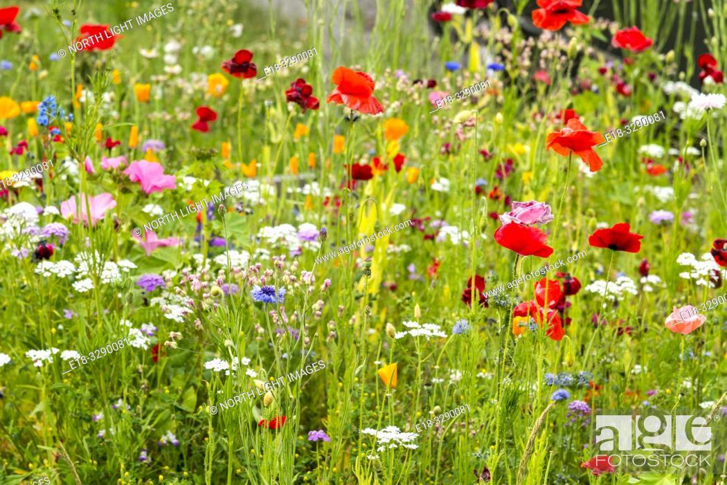 Stock Photo: USA, WA, Seattle. A field of wild flowers.