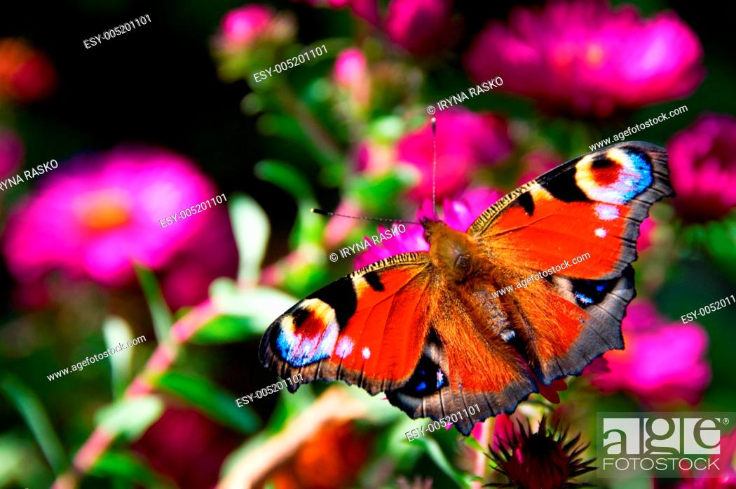 Stock Photo: Butterfly with eyes on winds on pink flowers.
