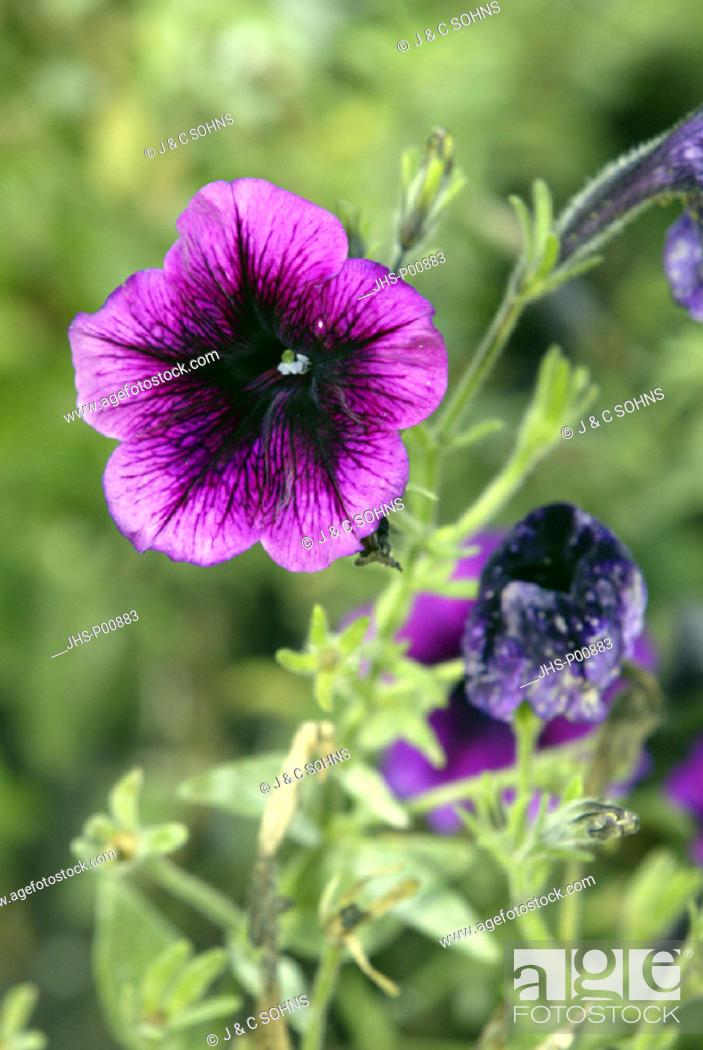 Stock Photo: Petunia, Petunia multiflora, Germany, bloom.