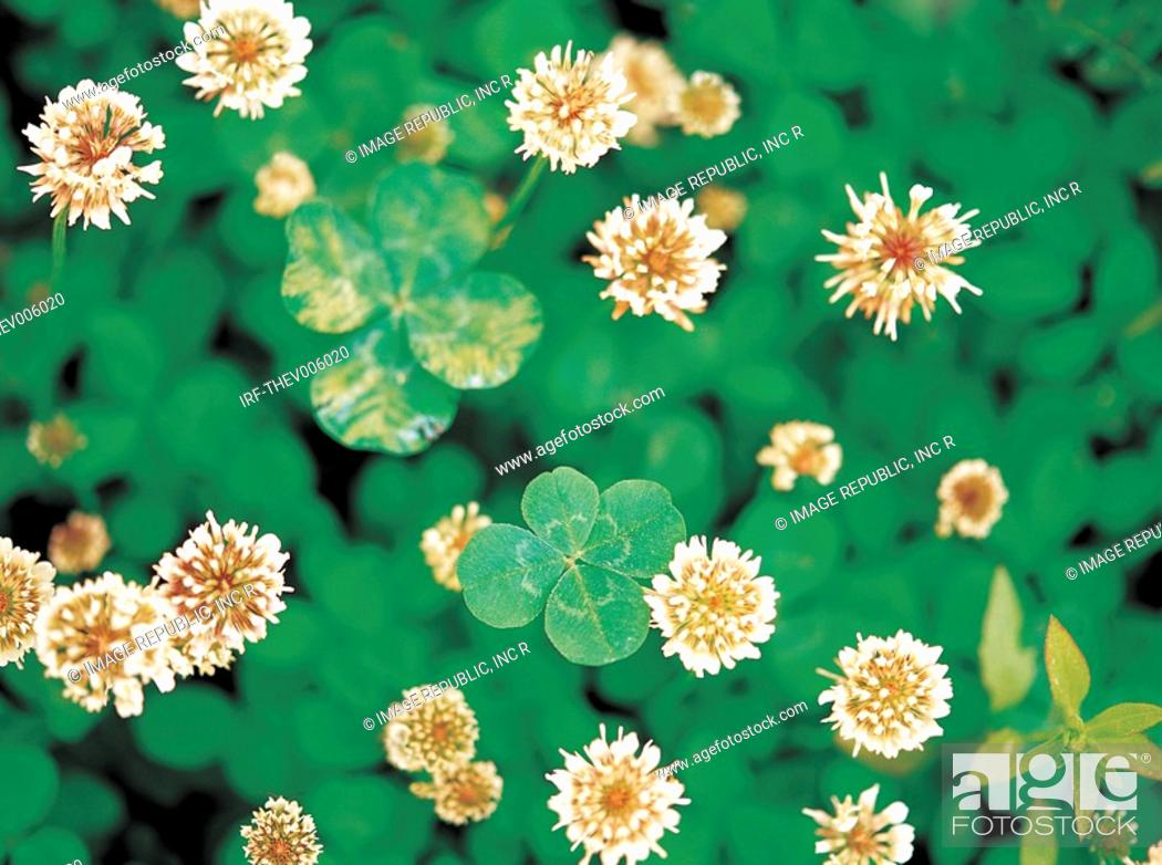 Stock Photo: flower, clover.