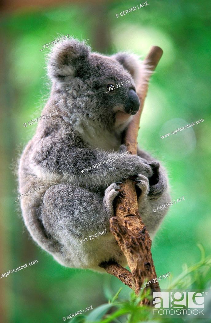 Imagen: Koala, phascolarctos cinereus.