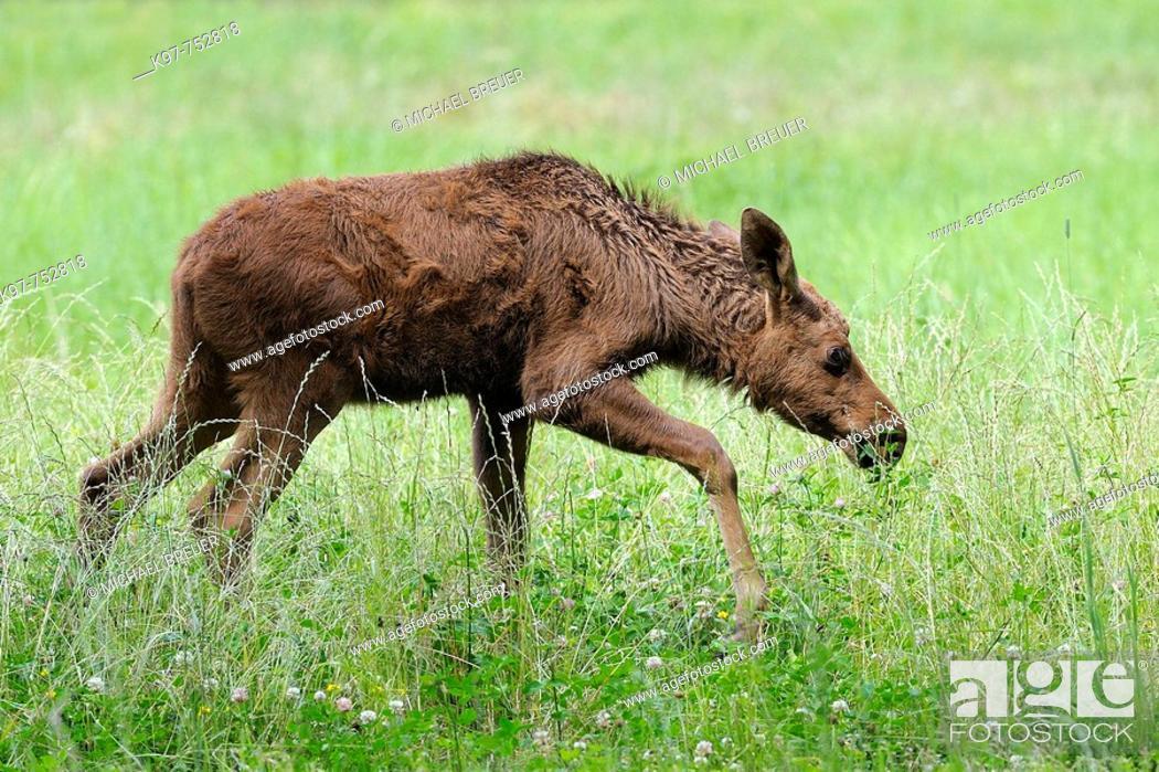 Stock Photo: Young european moose (Alces alces), Smaland, Sweden, Scandinavia.