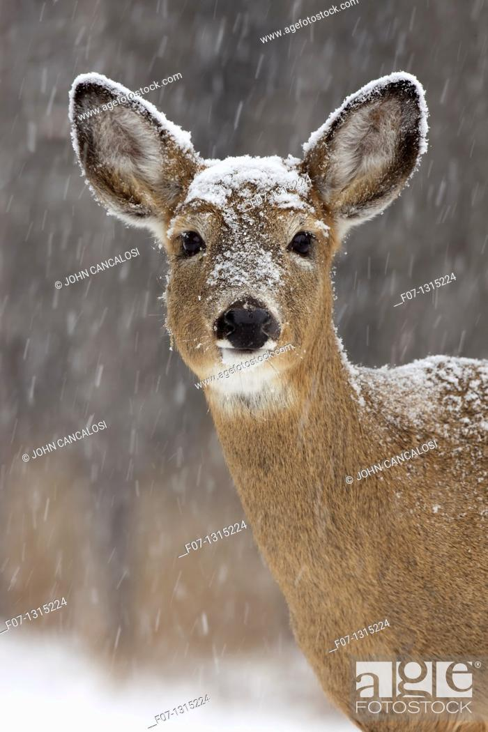 Stock Photo: White-tailed deer (Odocoileus virginianus), doe, New York, USA.