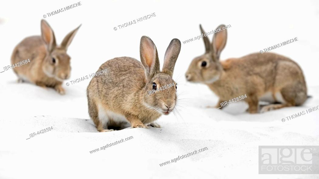 Stock Photo: European or common rabbits (Oryctolagus cuniculus) on Baltic Sea dunes, Mecklenburg-Western Pomerania, Germany.