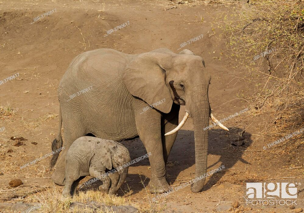 Stock Photo: African Elephant (Loxodonta africana), cow with calf, Kruger National Park, South Africa.