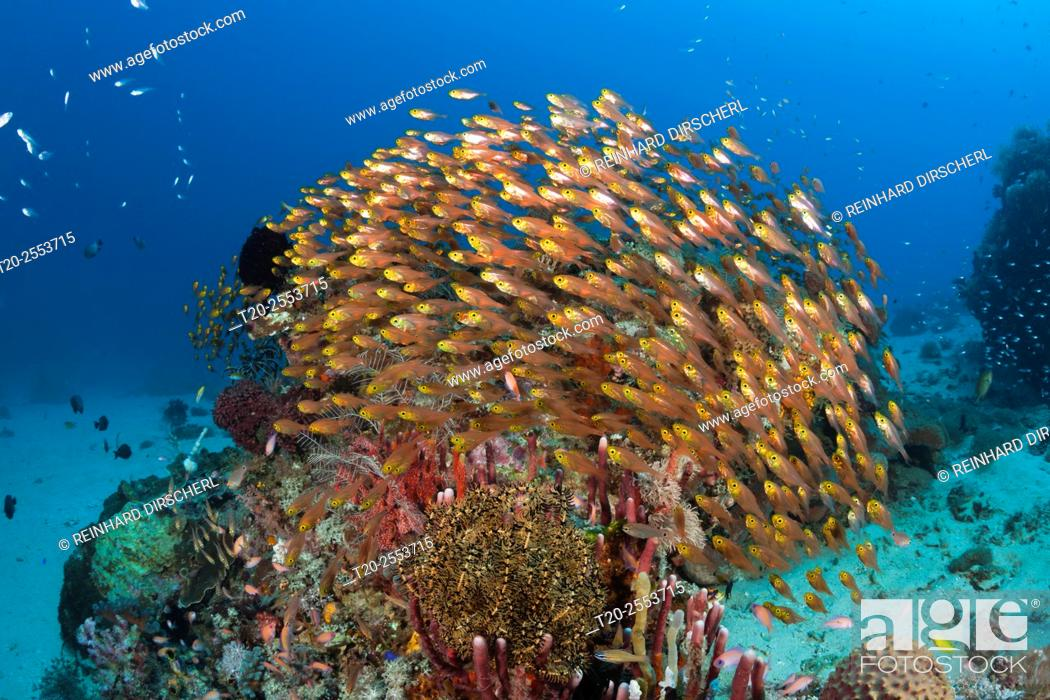 Stock Photo: Glassy Sweepers in Coral Reef, Parapriacanthus ransonneti, Komodo National Park, Indonesia.