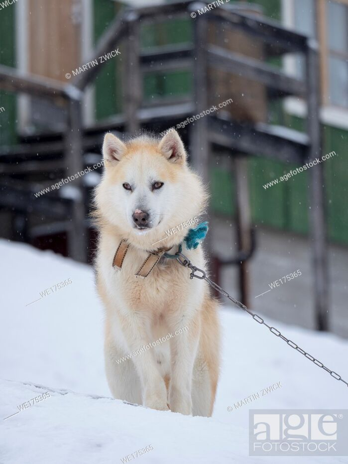 Stock Photo: Sled dog during winter in Uummannaq in the north west of Greenland. Dog teams are still draft animals for the fishermen of the village.