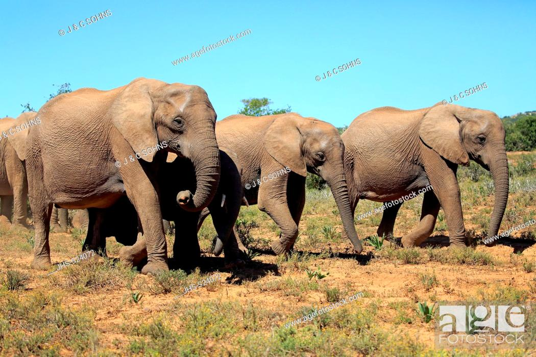 Stock Photo: African Elephant, (Loxodonta africana), adults walking group searching for food, Addo Elephant Nationalpark, Eastern Cape, South Africa, Africa.