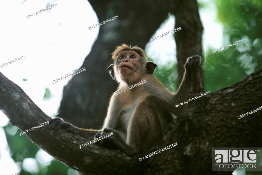 Stock Photo: Rhesus monkey Macaca mulatta sitting on bough of tree, looking up.