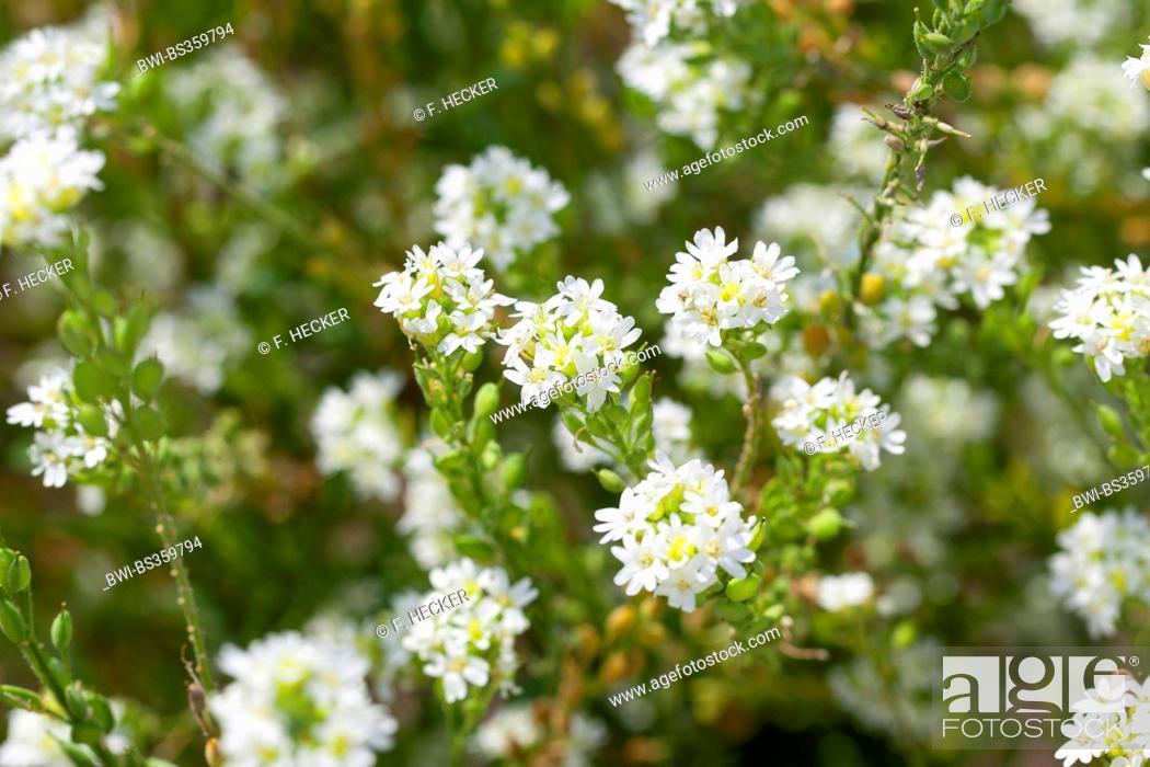 Stock Photo: Hoary alyssum, Hoary false alyssum, Hoary false madwort (Berteroa incana), blooming, Germany.