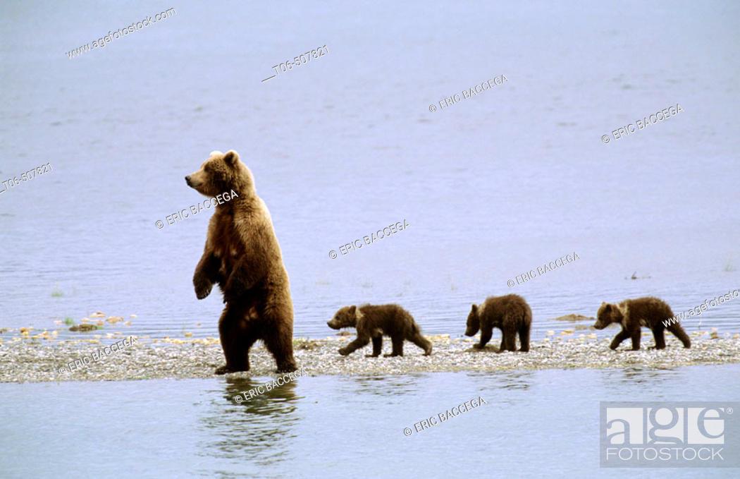 Stock Photo: Grizzly bear mother and three cubs (Ursus arctos horribilis). Brooks river, Katmai National Park, Alaska, USA.