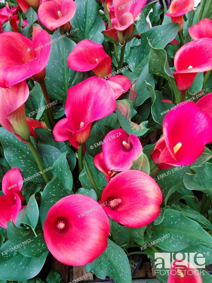Stock Photo: Red calla lily.